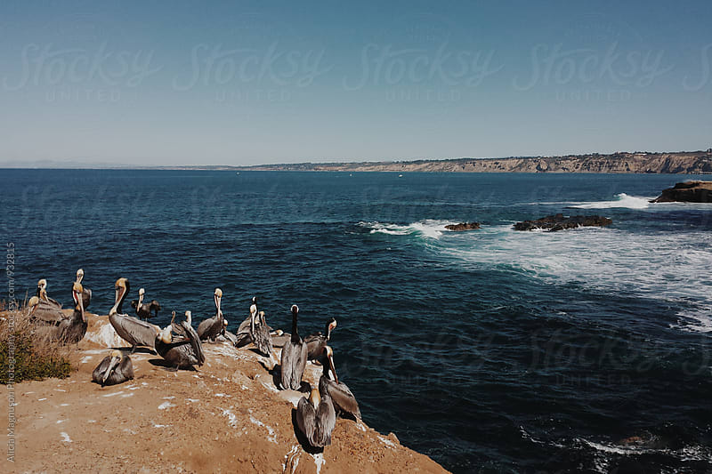 Pelicans Overlooking California Coastline by Alicia Magnuson Photography for Stocksy United