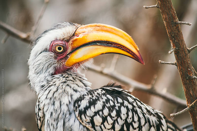 Southern Yellow-Billed Hornbill bird closeup shot by Alejandro Moreno de Carlos for Stocksy United