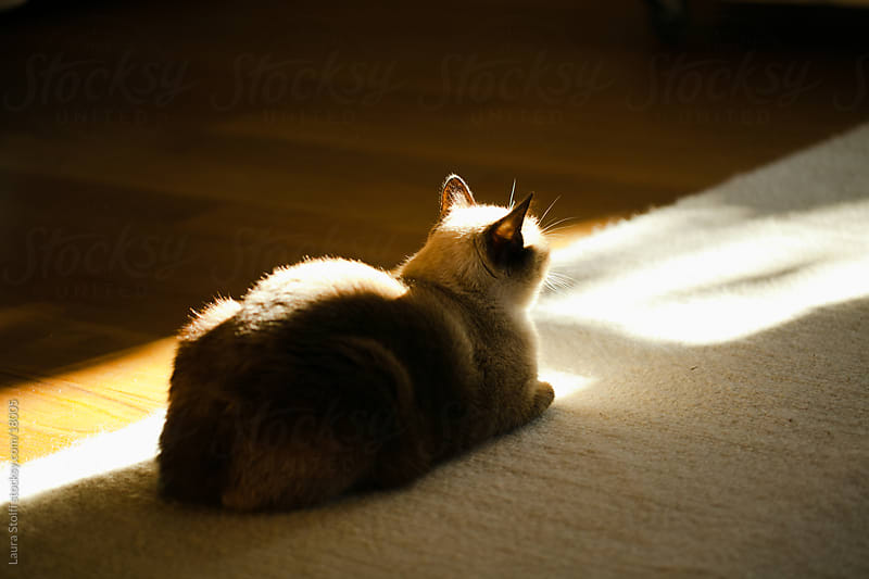 Cat on a carpet in the sunset light by Laura Stolfi for Stocksy United