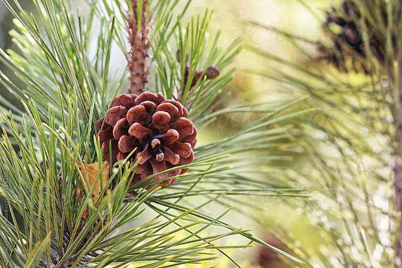 Single pine cone on a evergreen tree by Monica Murphy for Stocksy United