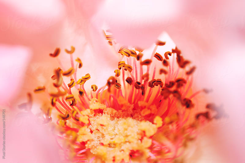 Blossom macro  by Pixel Stories for Stocksy United