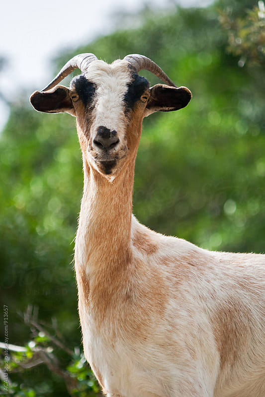 Brown goat looking at camera by ACALU Studio for Stocksy United