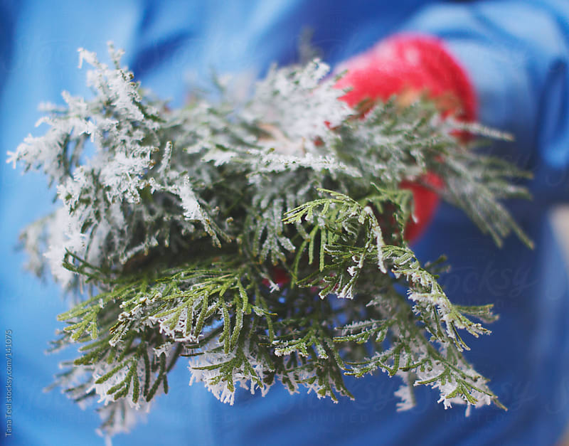 Frost covered evergreen sprigs by Tana Teel for Stocksy United