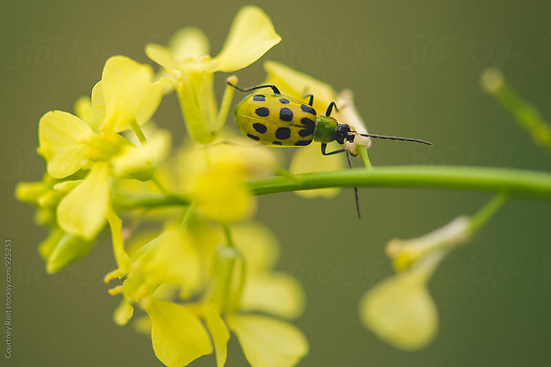 Cucumber Beetle by Courtney Rust for Stocksy United