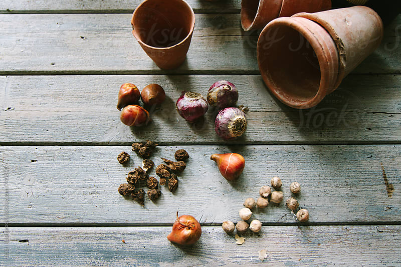 Spring bulbs ready for planting. by Helen Rushbrook for Stocksy United