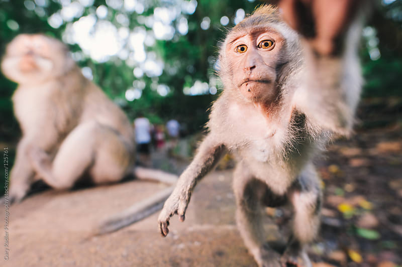 Juvenile long-tailed macaque, Ubud, Bali, Indonesia reaching for by Gary Radler Photography for Stocksy United