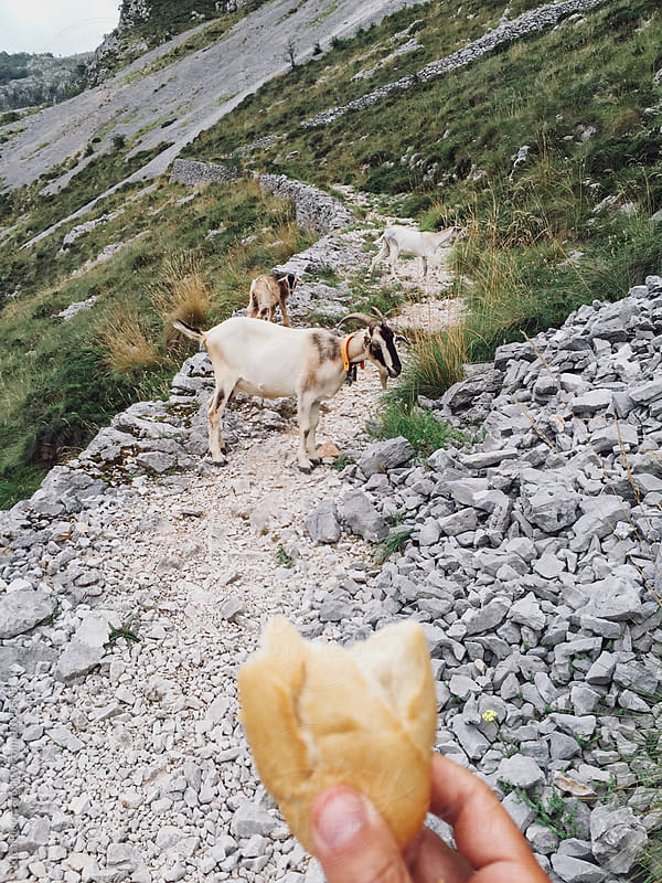 Hiker offering some bread to a goat by Luca Pierro for Stocksy United