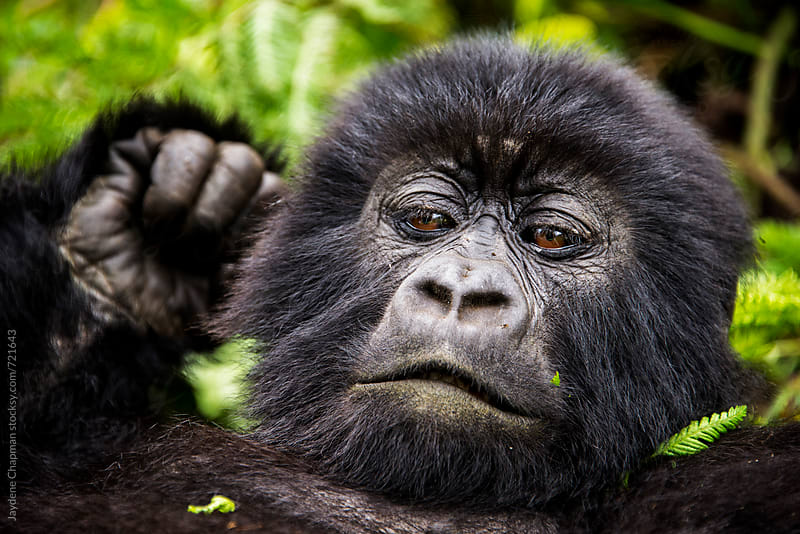 Young gorilla lying on jungle floor, National park, Rwanda, Africa by Jaydene Chapman for Stocksy United