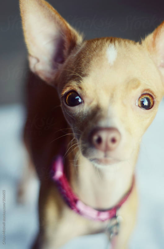 Chihuahua by Crissy Mitchell for Stocksy United