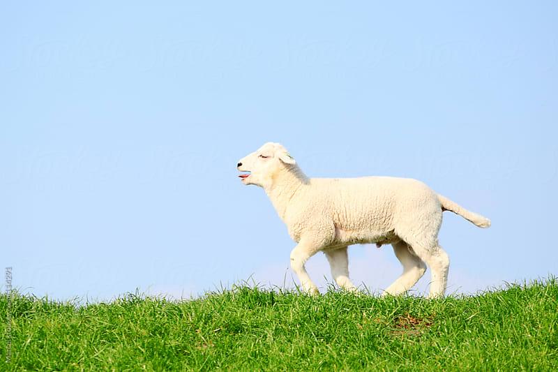 Running lamb by Marcel for Stocksy United