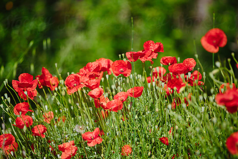 Poppy field in Cinque Terre by Simonfocus for Stocksy United