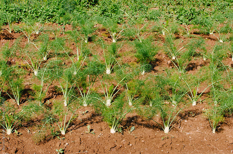 fennel plants growing in rows in a field by Deirdre Malfatto for Stocksy United