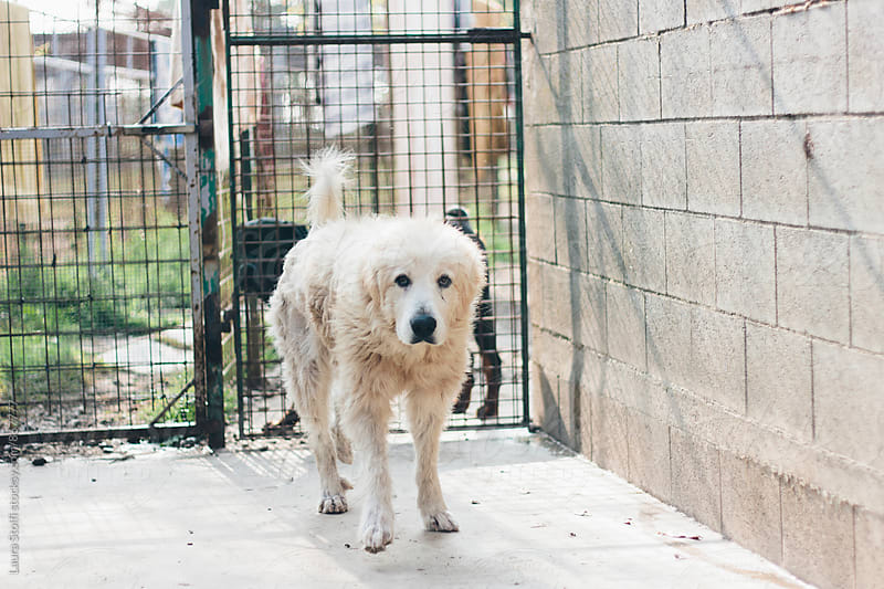 Old maremman dog walking in dog pound by Laura Stolfi for Stocksy United
