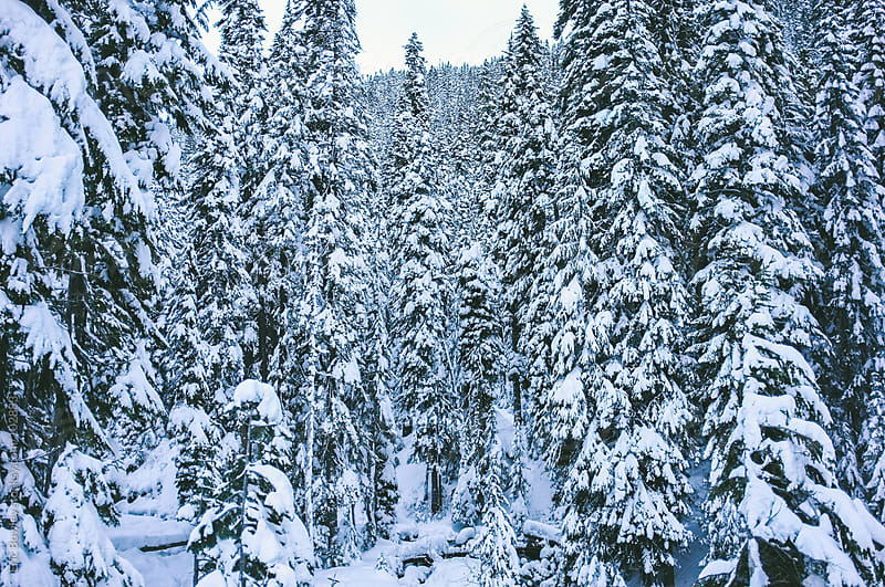 Snow Covered Evergreens by Eric Bowley for Stocksy United