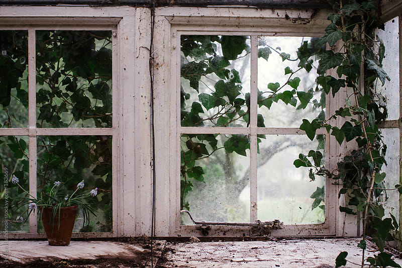 The ivy-clad windows of an old greenhouse by Helen Rushbrook for Stocksy United
