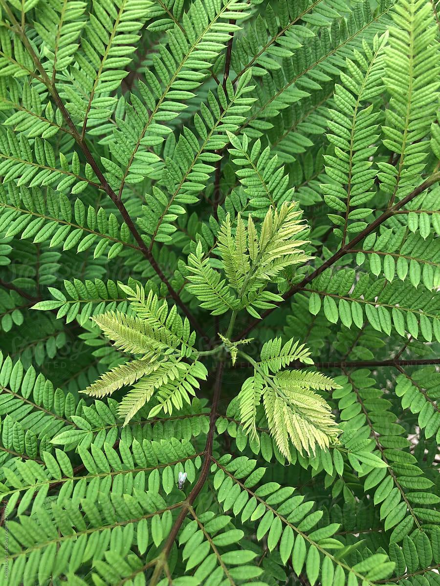 Fern Like Leaves On Jacaranda Tree By Leigh Love Foliage Plant