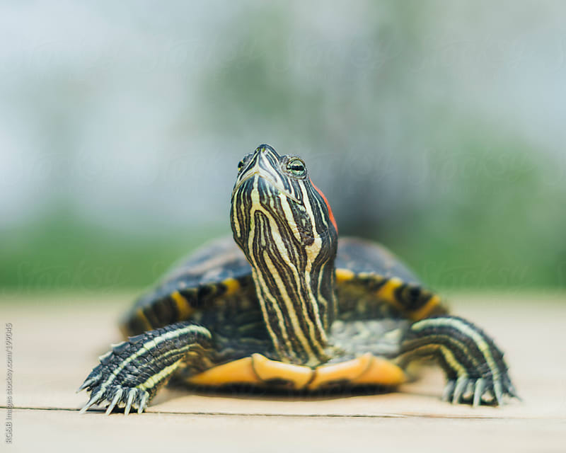 Slider turtle by RG&B Images for Stocksy United