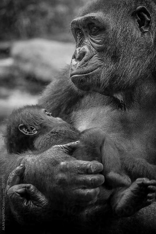 Gorilla baby by alan shapiro for Stocksy United