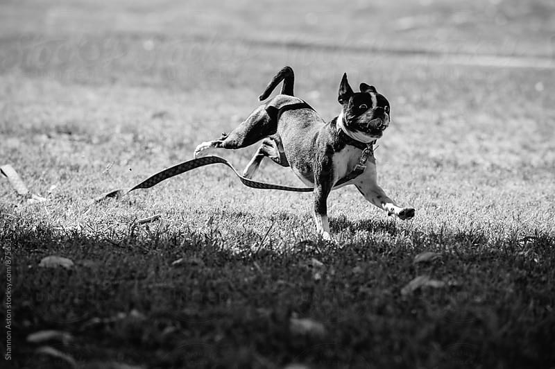 Bruce the Boston Terrier running by Shannon Aston for Stocksy United