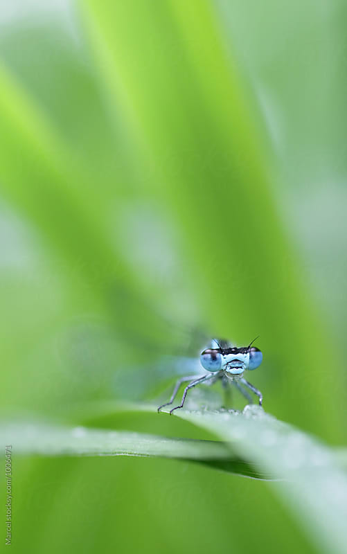 Blue damselfly on blade of grass by Marcel for Stocksy United