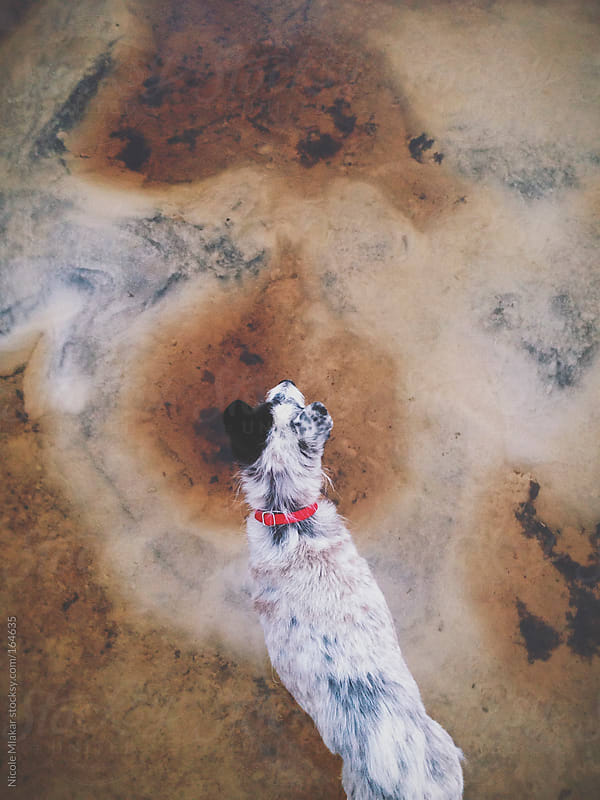 Looking down on Terrier dog standing in sand by Nicole Mlakar for Stocksy United