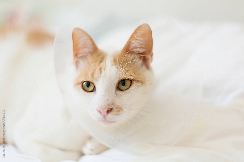Close up of sick cat with Elizabethan collar on laying on bed by Laura Stolfi for Stocksy United