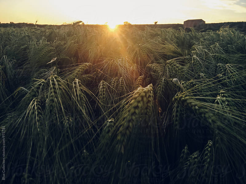 close up view of wheat field in the sunset by Jordi Rulló for Stocksy United