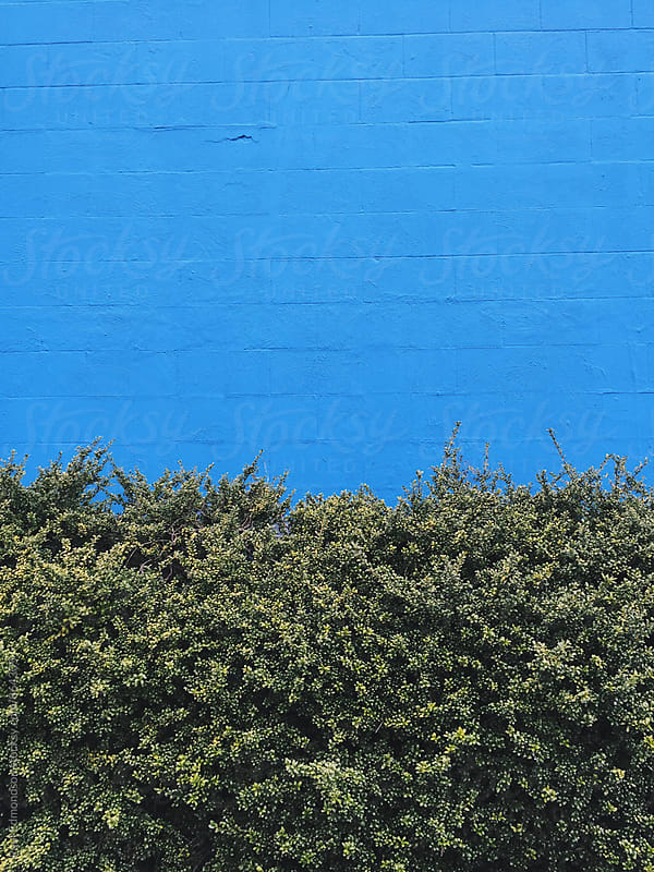 Green hedge in front of painted blue wall by Paul Edmondson for Stocksy United