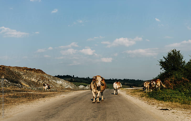 Bull standing in the middle of the road by Natasa Kukic for Stocksy United