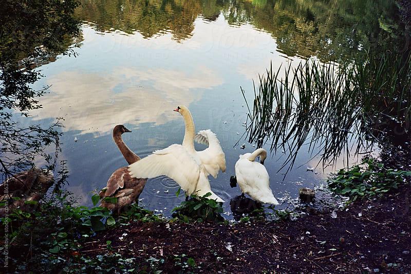 The white swan. by Nina Zivkovic for Stocksy United