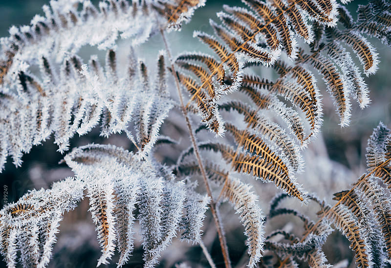 Bracken leaves covered in a heavy frost.  by Liam Grant for Stocksy United