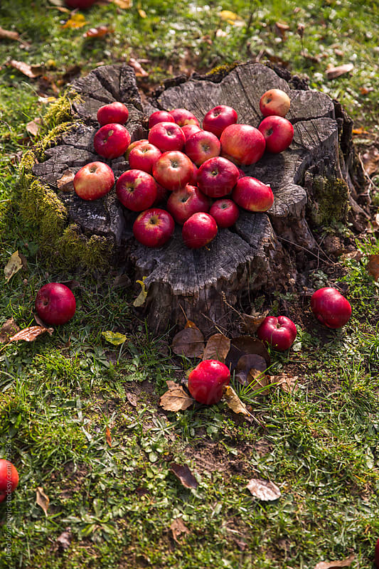 Organic apples  by Jovo Jovanovic for Stocksy United