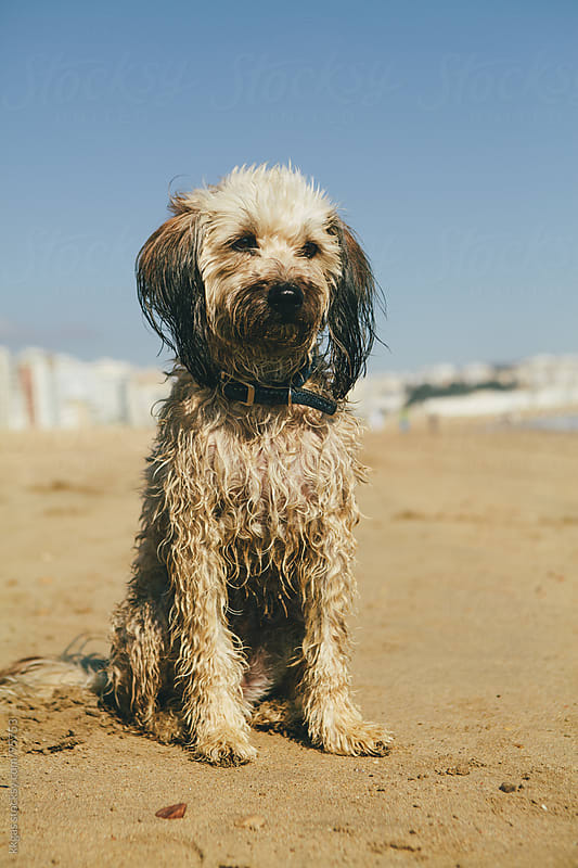Dog on the beach by kkgas for Stocksy United