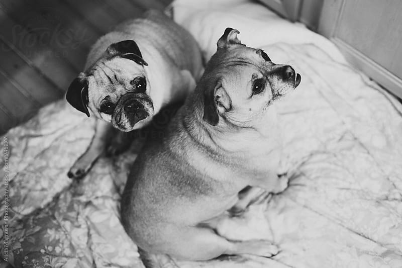 A Pug and A Half by Alicia Magnuson Photography for Stocksy United