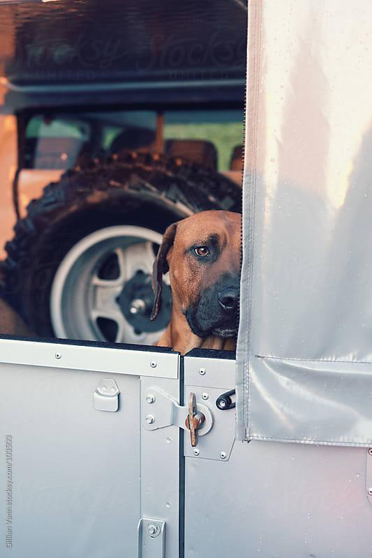sad dog in car by Gillian Vann for Stocksy United