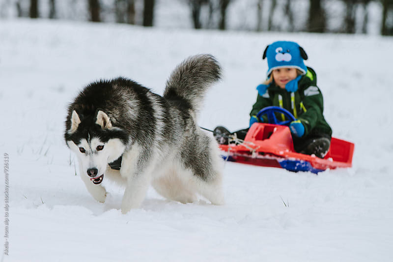powerful husky pulling a young boy on a bobsleigh by Leander Nardin for Stocksy United