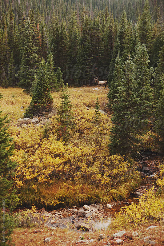 Autumn Meadow Creek Elk by Kevin Russ for Stocksy United