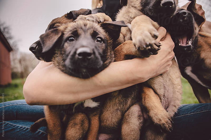 Little Malinois dogs by Peter Meciar for Stocksy United