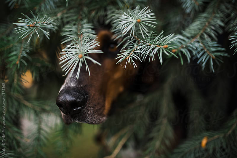 Dog peeping out of tree by Isaiah & Taylor Photography for Stocksy United