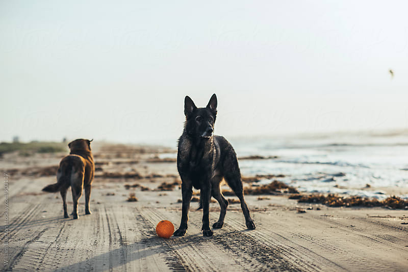 German Shepherd on the Beach by William Blanton for Stocksy United