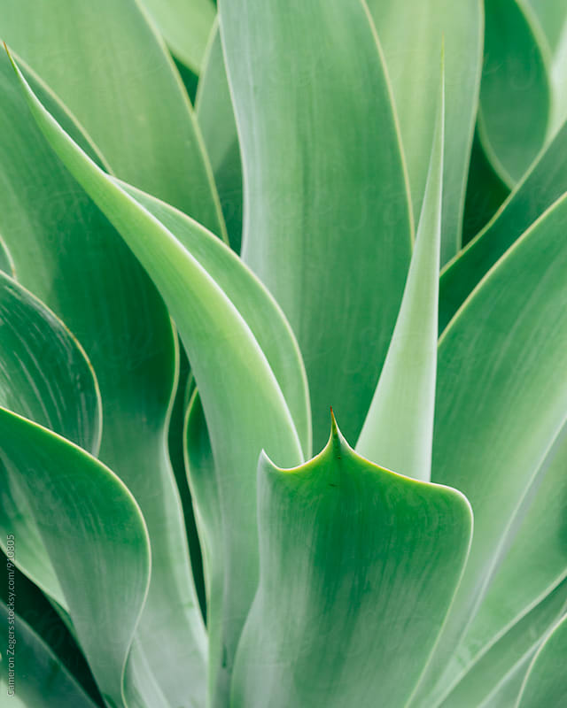 Agave by Cameron Zegers for Stocksy United