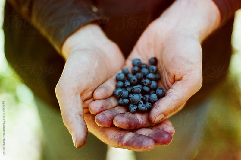 Hands holding freshly picked blueberries by Lyuba Burakova for Stocksy United
