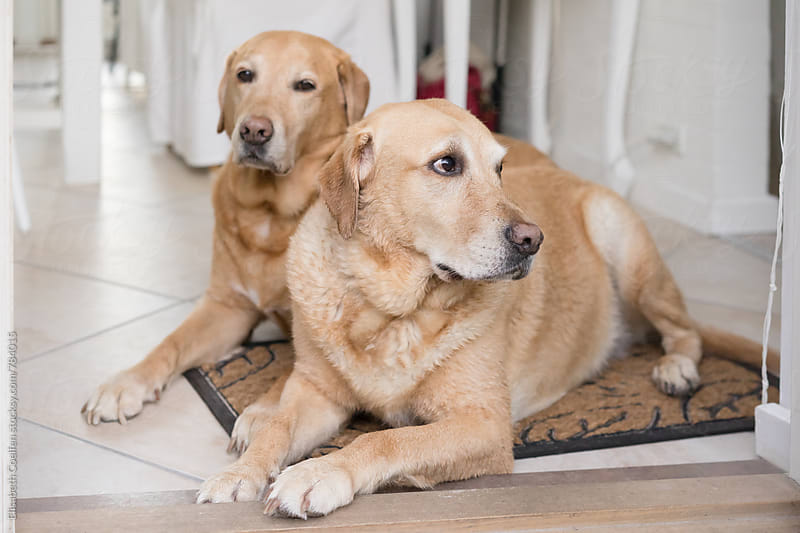 Two Labrador retrievers lying on the floor waiting by Elisabeth Coelfen for Stocksy United