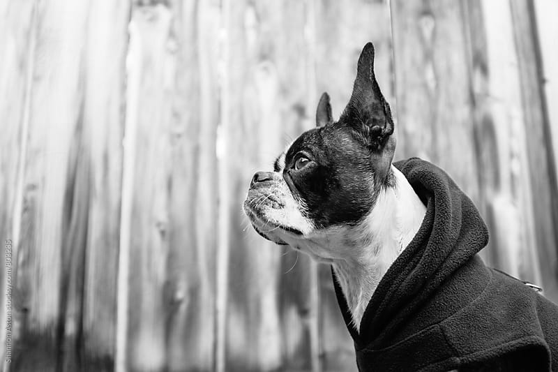 Bruce the Boston Terrier/Pug kicking it in a hip hoodie. by Shannon Aston for Stocksy United