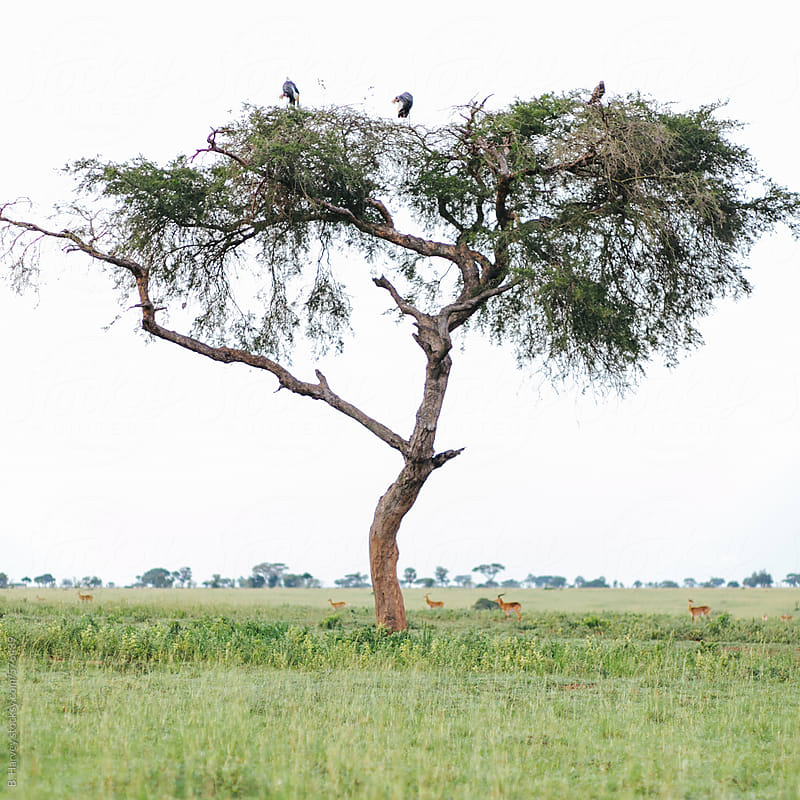 Vultures Perches on Tree by B. Harvey for Stocksy United