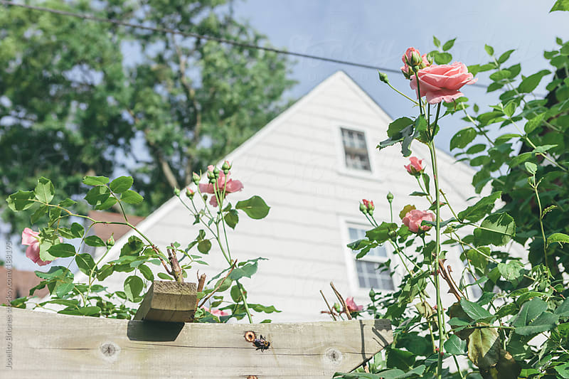 Roses Blooming in Spring on a Suburban Garden Trellis by Joselito Briones for Stocksy United