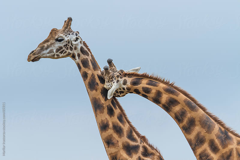 Two male giraffes fight with their necks (necking) by Marilar Irastorza for Stocksy United