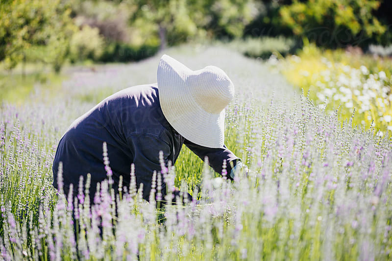Worker handpicking flowers in a lavender field  by Lior + Lone for Stocksy United