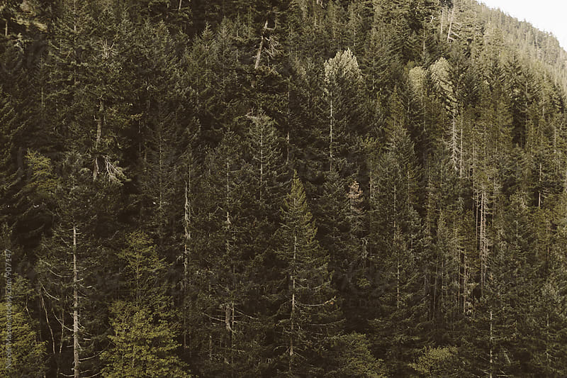 evergreen forest  by Nicole Mason for Stocksy United