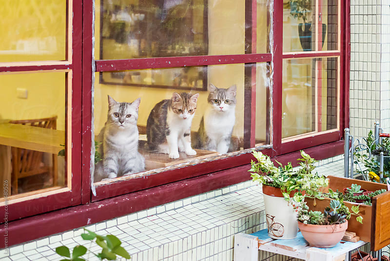 Three cats sitting behind window and looking out by Lawren Lu for Stocksy United